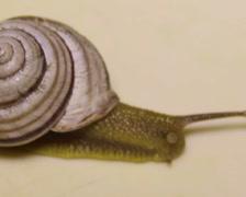 Garden snail (Helix pomatia) Stock Footage