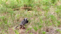 White-browed wagtail (Motacilla maderaspatensis) Stock Footage