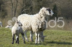 Yew and Lambs Stock Photos