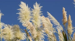 Pampa grass white inflorescences  decorative grass in front  of sun 4K 2160p Stock Footage