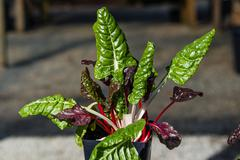 Swiss chard with colorful leaves Stock Photos