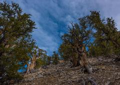 Ancient Bristle Cone Pinte Great Basin Stock Photos
