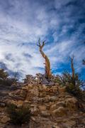 Ancient Bristle Cone Pine Great Basin Stock Photos