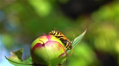 Beautiful bumble-bee pollinating wonderful flower in summer. Close up Stock Footage