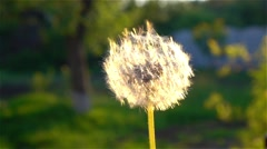 Mature dandelion blow away. Close up Stock Footage