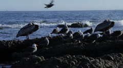 Pelicans on Rocks Pan Left Stock Footage