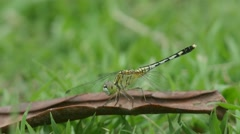 Dragonfly on the dry leaf with wind Stock Footage