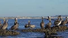 Pelicans on Rocks Following and Landing Stock Footage