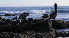 Pelicans on Rocks Pelican Lands Stock Footage
