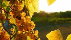 Backlit white grape bunch Stock Footage