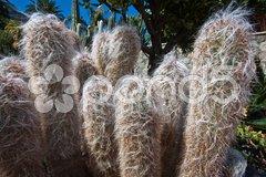 Fluffy cactus Stock Photos