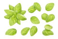 Basil leaves isolated on white background Stock Photos