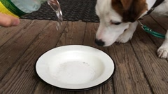 Jack Russell Terrier dog drinking water. Slow motion Stock Footage