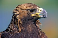 Golden Eagle, portrait closeup Stock Photos