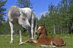 Arabian Mare watching Foal at pasture Stock Photos