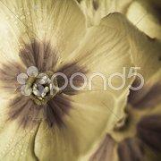 Color-reduced Primrose with dewdrop Stock Photos