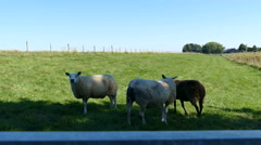 Country road with sheeps in Dutch landscape Stock Footage