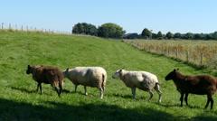 Sheeps in a row in Dutch landscape Stock Footage