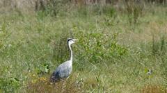 A heron in Dutch meadow field Stock Footage