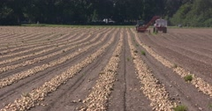 Rows of pulled onions drying in the field - onion harvester riding off camera Stock Footage