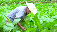 A tobacco farmer works in the fields near Vinales, Cuba. Stock Footage