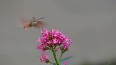 Hummingbird hawk-moth feeding on the flower (Slow motion) Stock Footage