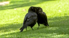 Two black feathered ravens standing together on grassy lawn Stock Footage