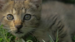 Gray little kitten playing in the garden close-up 4K 2160p 30fps UltraHD vide Stock Footage
