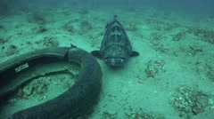 Close shot of Giant grouper , it opens and close mouth Stock Footage
