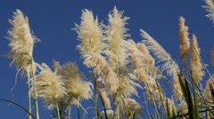 Slow motion of white pampa grass inflorescences devorative grass Stock Footage