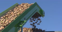 Swan Neck Conveyor lifts onions into container - low angle Stock Footage