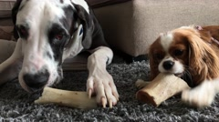 Great Dane and Cavalier King Charles dogs chewing bones together Stock Footage