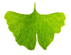 Ginkgo biloba leaf in transmitted light Stock Photos