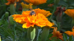 A bee collects nectar on the flower Tagetes. Stock Footage