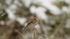 Reed Bunting Stock Footage