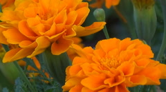 Flowers marigolds stand motionless Stock Footage