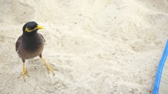 Myna Bird on the Beach Picks up a Piece of Bread from Hand. Slow Motion Stock Footage