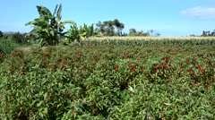 Field of bright red flowers, corn field and banana trees in the background Stock Footage
