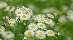 Pretty White and Yellow Wildflowers in a Breeze. Video 4k Stock Footage