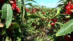 Field of bright red flowers used for offering, close up Stock Footage