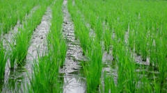 Gentle Breeze Stirring Rice Stalks on a Balinese Farm Stock Footage