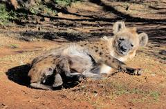 Spotted hyena or laughing hyena lying on the ground Stock Photos