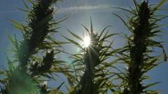 Cannabis Marijuana Flower in bloom closeup waving in the wind - 4K Stock Footage