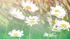 Blossom of daisy flowers Stock Footage