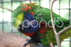 Rainbow Lorikeet Grooming Stock Photos