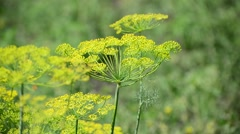 Umbrellas of fennel with seeds closeup Stock Footage