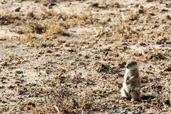 Ground Squirrel YES Sir  - Mountain Zebra National Park Stock Photos