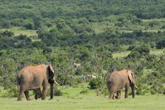 Elephants, Addo Elephant National park, South Africa Stock Photos