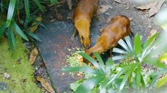 Chevrotains, also known as mouse-deer, are eating Stock Footage