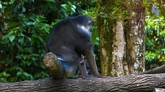 Adult male Mandrill resting in their natural habitat Stock Footage
